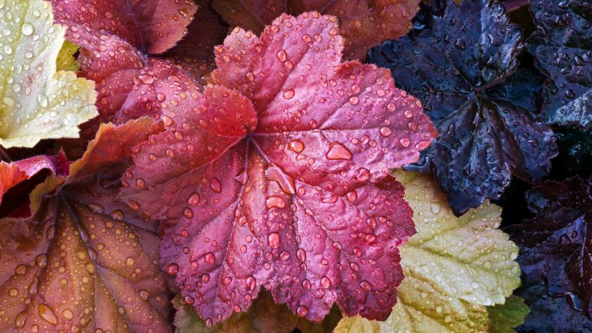 The large and colorful leaves of Heuchera (a.k.a. coral bells) flowering plants are wet with raindrops in the perennial garden.