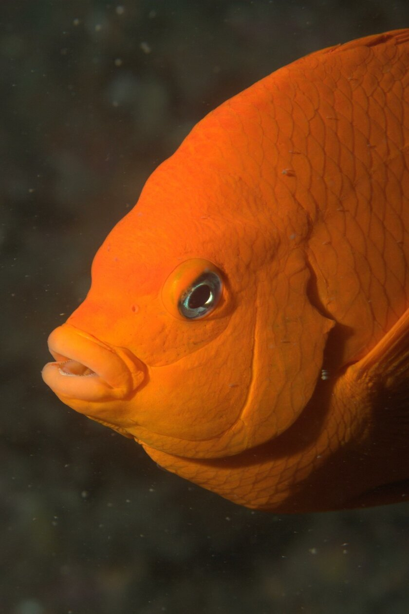 Visible under the waters of La Jolla Shores, Garibaldi is the California State fish.