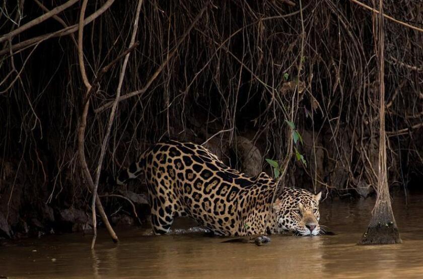 Fotografía cedida por la organización Panthera y fechada el 5 de diciembre de 2018, que muestra a un ejemplar de Jaguar (Panthera onca). EFE/Cortesía Organización Panthera/SOLO USO EDITORIAL
