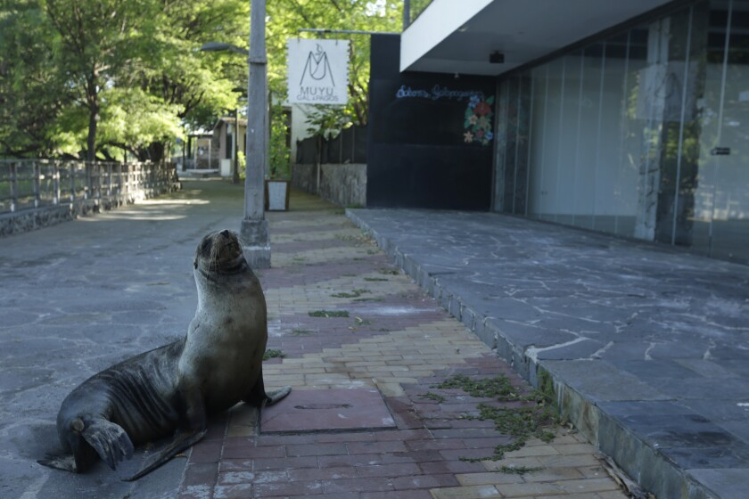 A sea lion sits outside a Galapagos Islands hotel that is closed because of the coronavirus crisis.