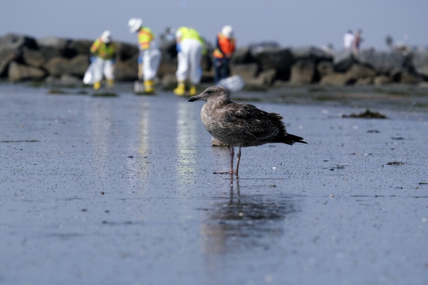 FILE - A seagull rests as workers in protective suits clean the contaminated beach after an oil spill, Wednesday, Oct. 6, 2021 in Newport Beach, Calif. After a crude oil sheen was detected on the waters off the California coast, environmentalists feared the worst. Now, almost a week later, some say weather conditions and quick-moving actions have spared sensitive wetlands and scenic beaches in Orange County's Huntington Beach a potentially calamitous fate, though the long term toll of the spill remains unknown. (AP Photo/Ringo H.W. Chiu, File)
