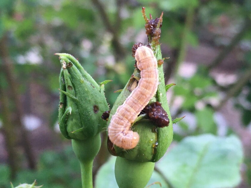 Bud worms feed on and destroy buds and blooms.