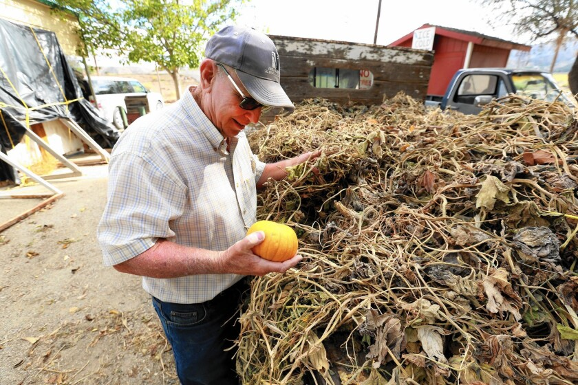 Bob Lombardi, owner of the shut-down Lombardi Ranch, looks at one of the baby bear pumpkins he was able to grow on only two acres because of the drought.