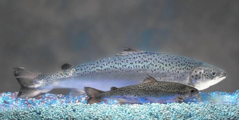 An AquAdvantage salmon dwarfs a nonengineered salmon of the same age.