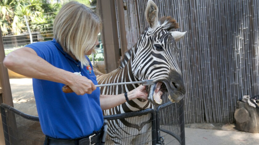 Char Davis works with an 8-year old Zebra by teaching her to be comfortable with various behaviors that help assist during medical exams at the San Diego Zoo.