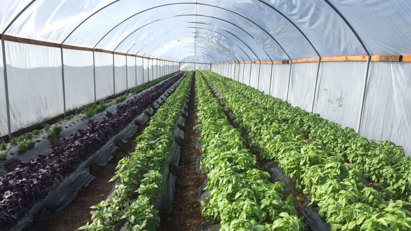 A hothouse with several varietals of basil at Thao Family Farm in Fresno.