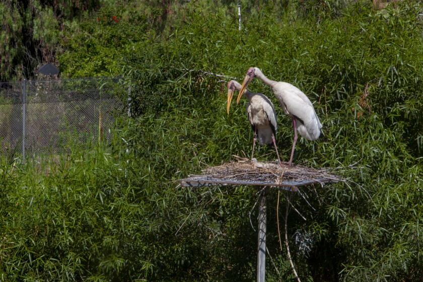 Milky storks tend to their newly hatched chicks in a nest on a raised platform.