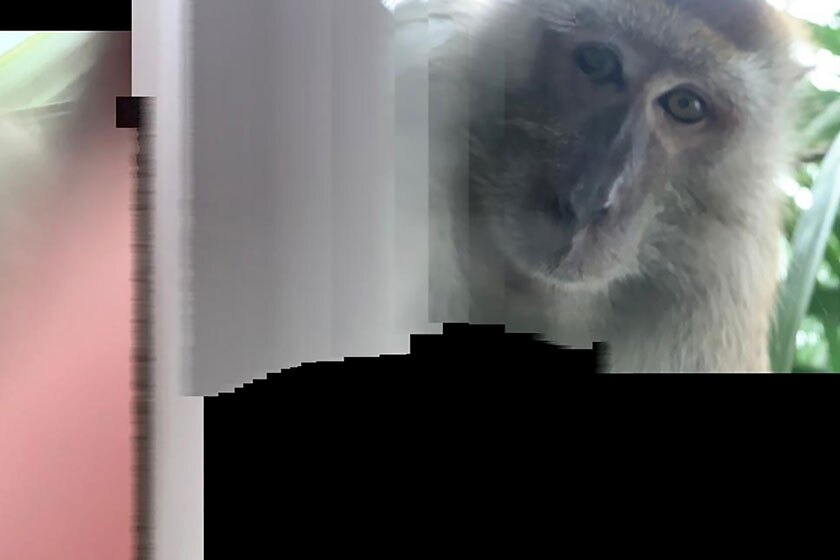 A monkey in Batu Pahat, Malaysia, took this selfie with a phone set on panorama mode.