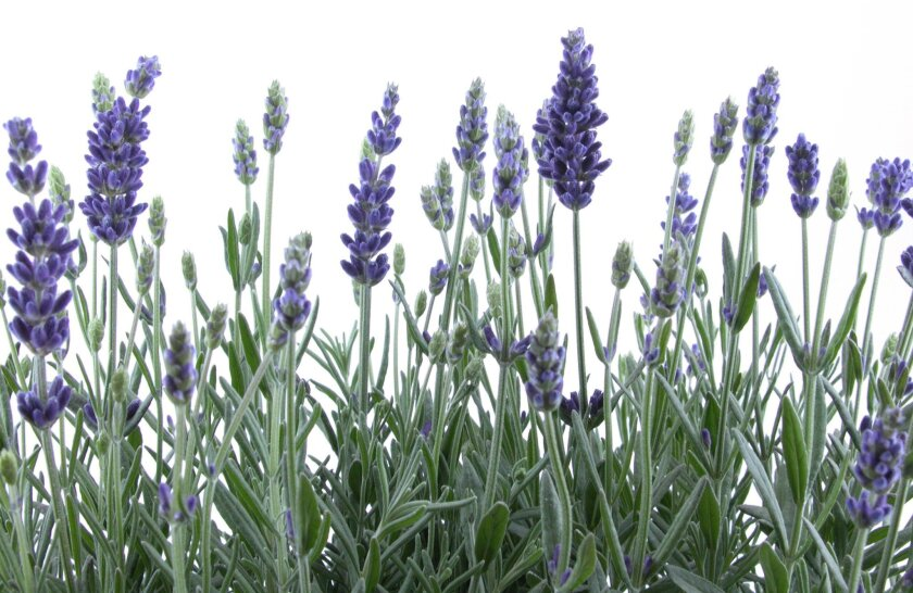 Growing lavender is easy in San Diego's Mediterranean climate.