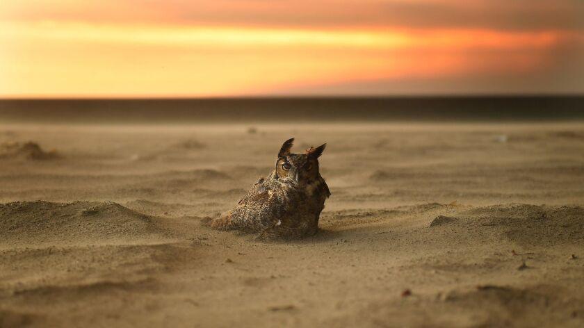 MALIBU, CALIFORNIA NOVEMBER 9, 2018-An owl sits onthe beach in Malibu as the Woolsey Fire approaches