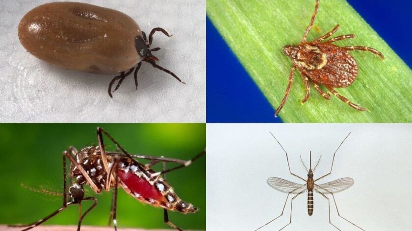 Clockwise from top left: The disease-carrying deer tick, American dog tick, Culex pipiens mosquito and Aedes aegypti mosquito.