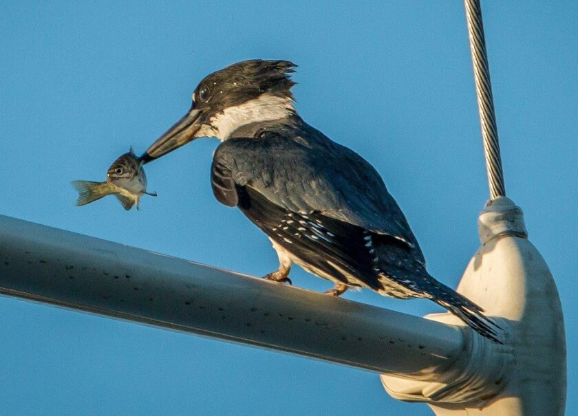 The belted kingfisher feeds on small fish like this one at Oceanside Harbor.
