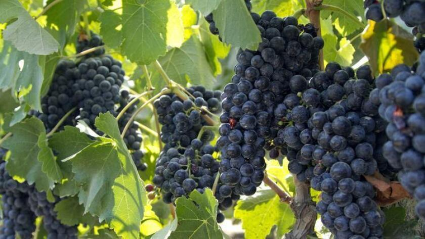 Cabernet sauvignon grapes from the L.A. Cetto vineyard in Guadalupe Valley. Wines from L.A. Cetto have won more than 200 awards. (U-T file photo)