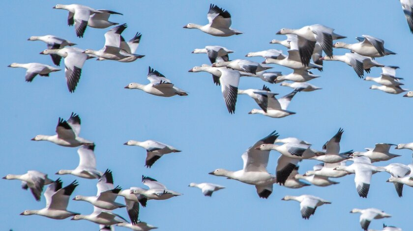 Wintering flocks of snow geese use the agricultural fields and ponds of Sonny Bono Salton Sea Wildlife Refuge and provide birders breathtaking views as they move.