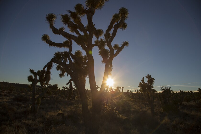 A Joshua tree is backlighted by the setting sun in the Mojave Desert. Concern over the long-term health of the deceptively delicate terrain spurred President Obama to designate the Mojave Trails, Sand to Snow and Castle Mountains monuments under the 1906 Antiquities Act.