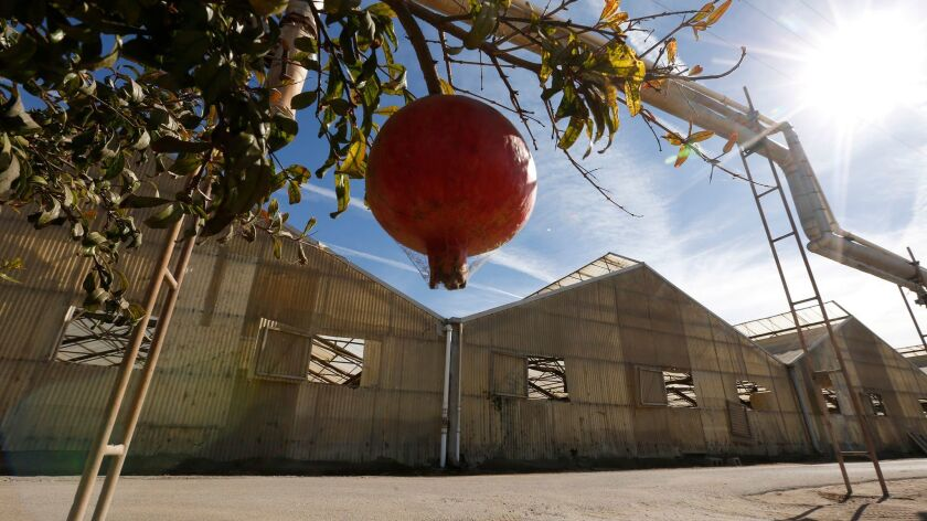 A pomegranate hangs near a row of abandoned cut flower greenhouses in Salinas that were recently purchased for use as a possible marijuana growing location.