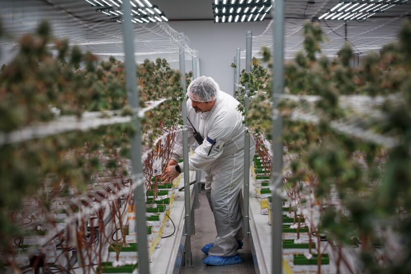 Christopher Brooks, a cultivation specialist at Vertical Cos., a large cannabis producer with headquarters in Agoura Hills, checks cannabis growth in one of its greenhouses in Needles. Cannabis businesses in Costa Mesa, where marijuana product research, distribution, manufacturing and testing is legal, scored a win Tuesday night when the City Council voted to cut a 6% gross-receipts tax to 1%.
