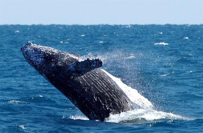 Una ballena de 18 metros de largo fue rescatada exitosamente en el Caribe luego de varar en Isla Contoy, área natural protegida del suroriental estado mexicano de Quintana Roo, según informaron hoy autoridades locales. EFE/ARCHIVO/prohibido su uso en Australia y Nueva Zelanda