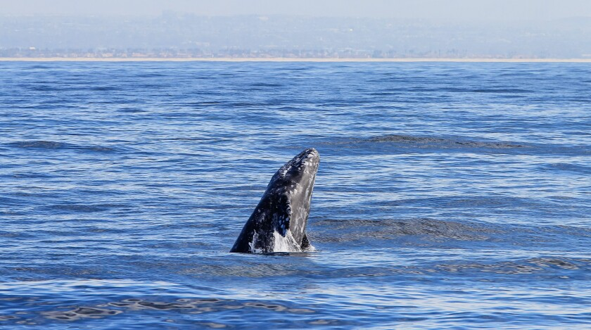 An Eastern Pacific gray whale, seen from aboard the Marietta, breaches during a recent whale watching tour presented by Birch Aquarium and Flagship Cruises. (Eduardo Contreras / San Diego Union-Tribune)
