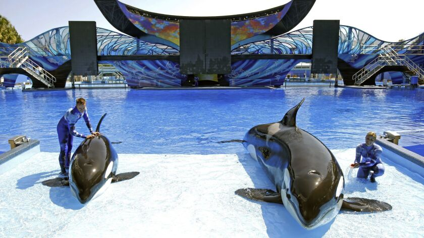 Kayla the orca, shown at right, prepares in 2014 for a SeaWorld Orlando show with trainers Michelle Shoemaker, right, and Ryan Faulkner and orca Melia. Kayla died Monday morning.
