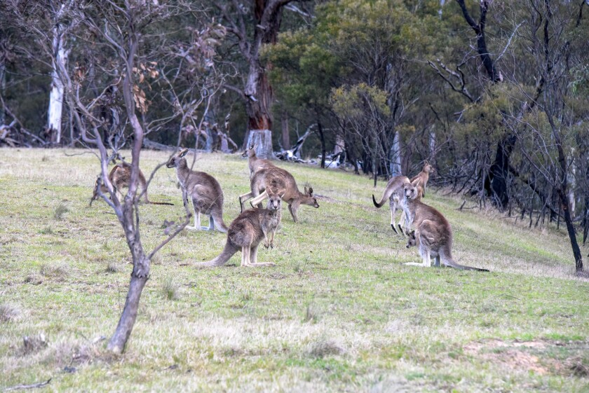 Aside from the Pokemon, you'll see real, not virtual, kangaroos while touring Australia.