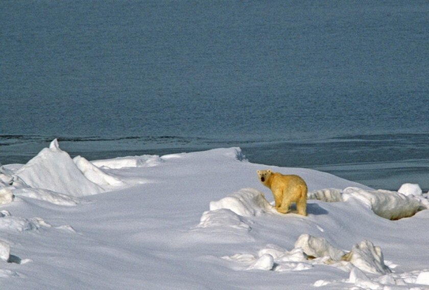 A warming climate means less Arctic ice and less opportunity for polar bears to hunt. A new study predicts that climate change could cause as many as one in six species to become extinct.