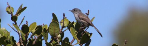 A California gnatcatcher, observed during the 2020 City Nature Challenge, an international biodiversity event.