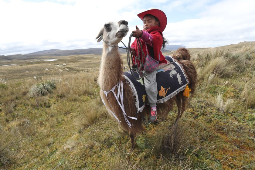 A girl waits on her llama for the start of a race at the Llanganates National Park, Ecuador, Saturday, Feb. 8, 2020. Wooly llamas, an animal emblematic of the Andean mountains in South America, become the star for a day each year when Ecuadoreans dress up their prized animals for children to ride them in 500-meter races. (AP Photo/Dolores Ochoa)