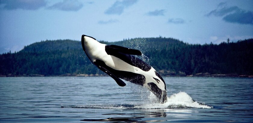 """A killer whale breaches in British Columbia's Johnstone Strait in 1982. The """"southern resident"""" orcas have declined in recent years, largely due to a lack of king salmon to eat."""
