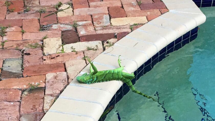 An iguana that froze lies near a pool after falling from a tree in Boca Raton, Fla., Thursday, Jan.