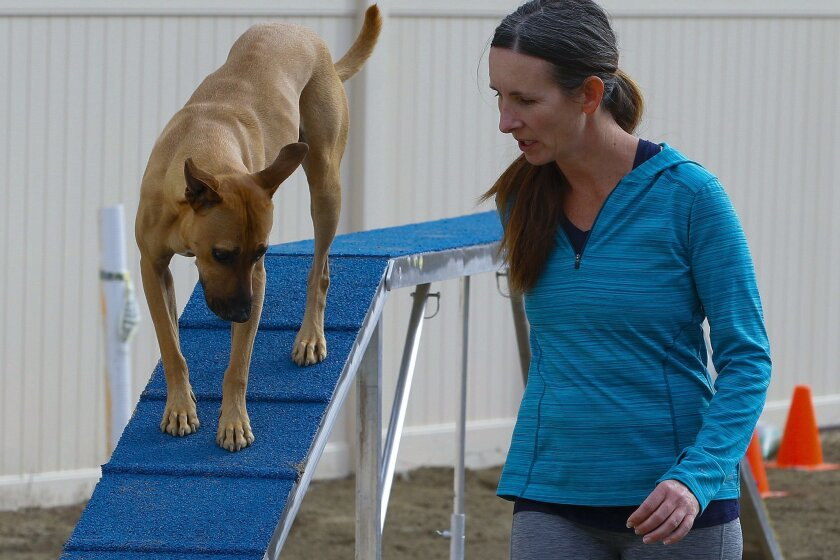 Professional dog trainer, Linda Randall works last month with her 5-year-old pit bull mix, Phineas, who competed Feb. 13 in the Westminster Kennel Club's Masters Agility Championship.