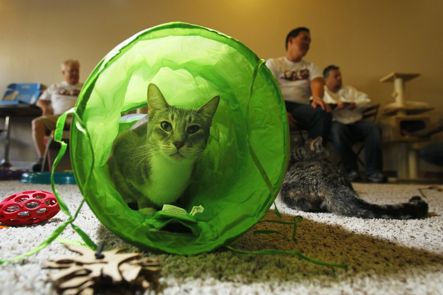 Giselle, a cat that is available for adoption looks out of a tunnel at the recently opened Cat Cafe in downtown San Diego.