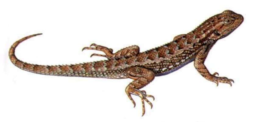 How California escapes the Lyme disease curse: Lizards!