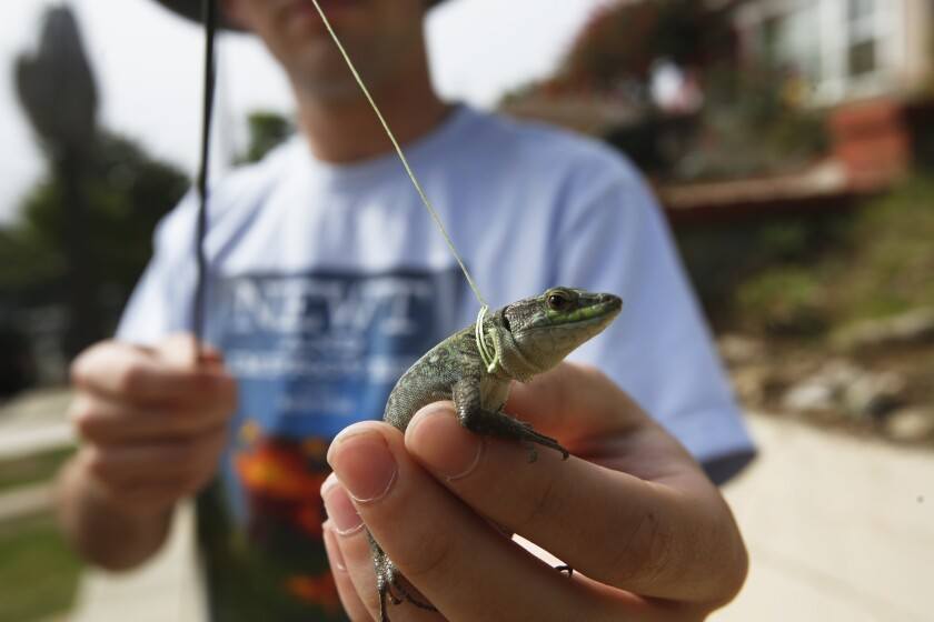 On the trail of San Pedro lizards
