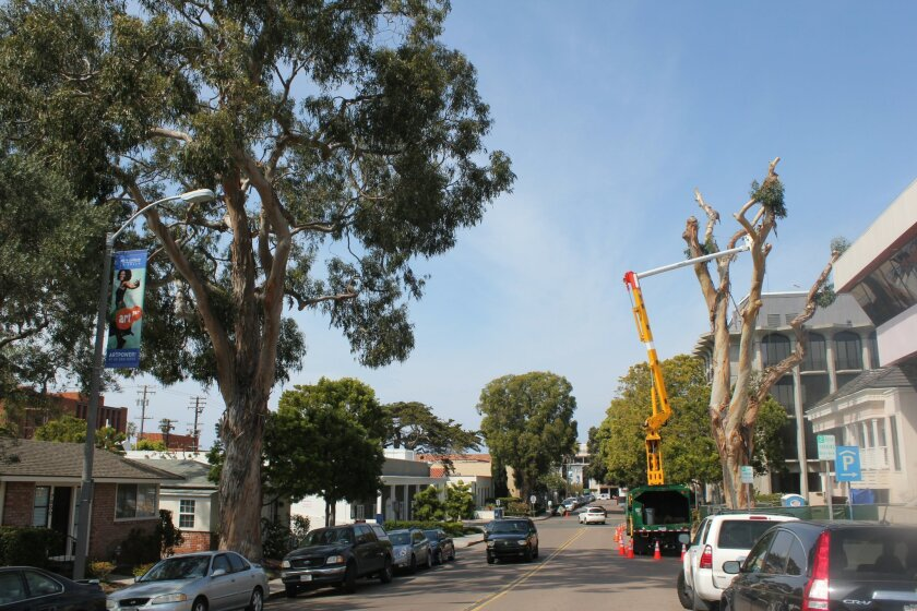 Two of the few original eucalyptus trees planted throughout the Village more than 100 years ago, in the 7800 block of Ivanhoe Avenue. The denuded one on the right was removed Monday afternoon, while the other remains (for now). Pat Sherman photos