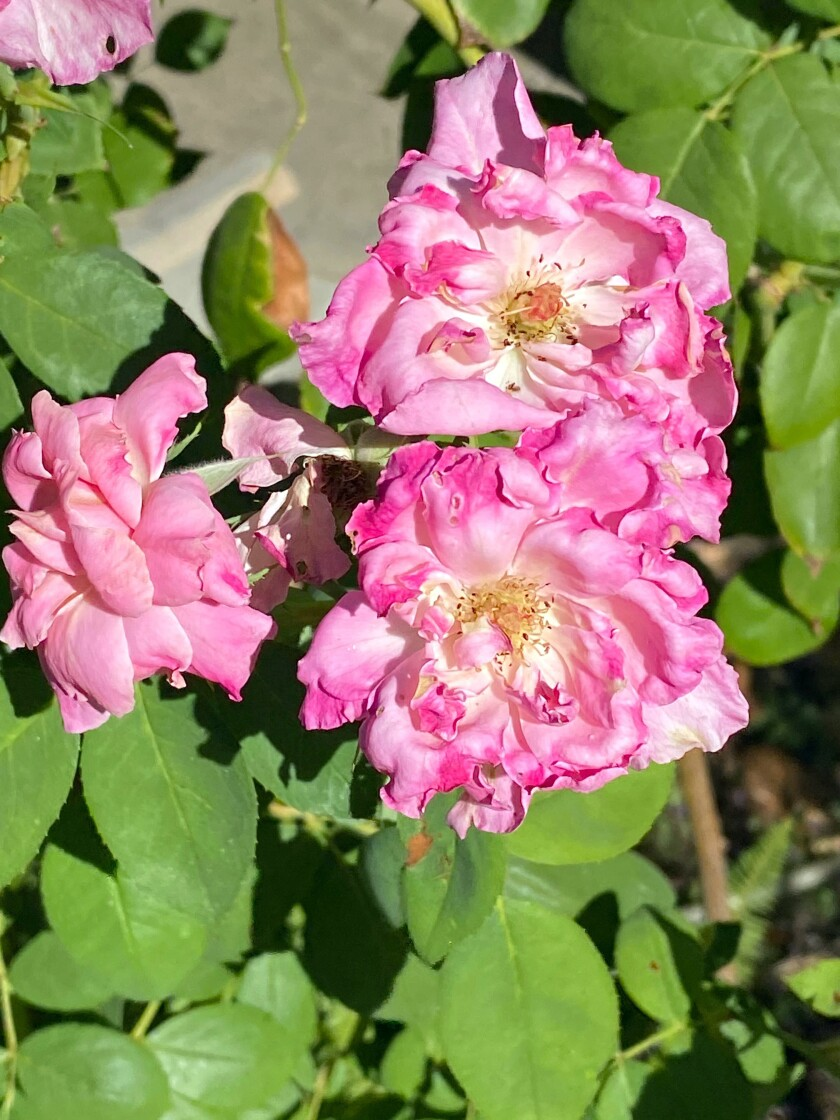 Roses shriveled from high temperatures