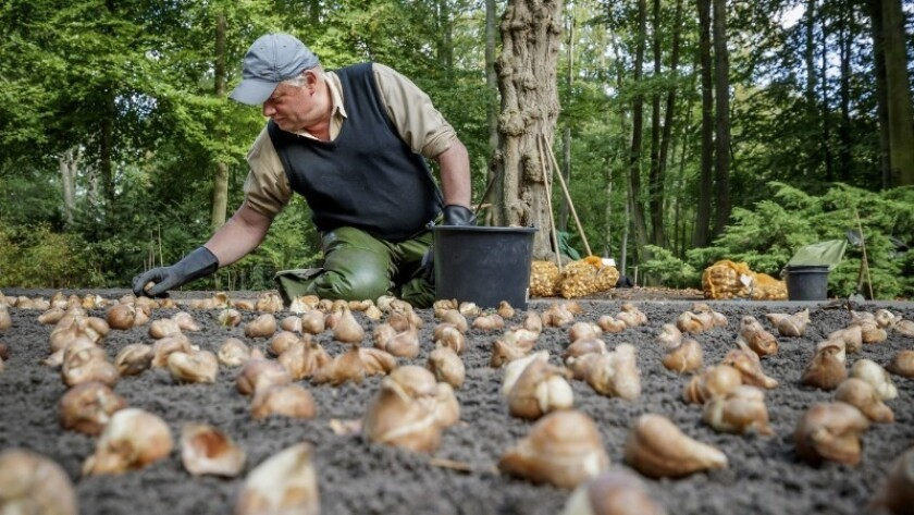 Roughly 7 million bulbs will be planted in the garden this year.
