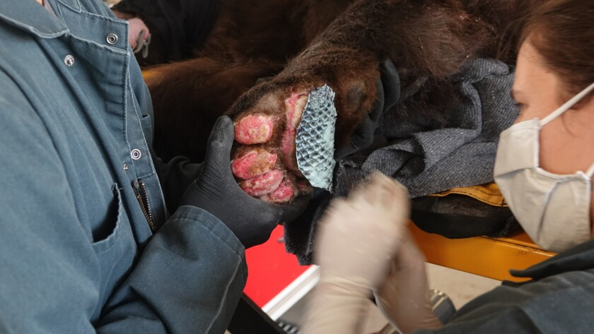 A 10-year-old black bear was burned in the North Complex fire.