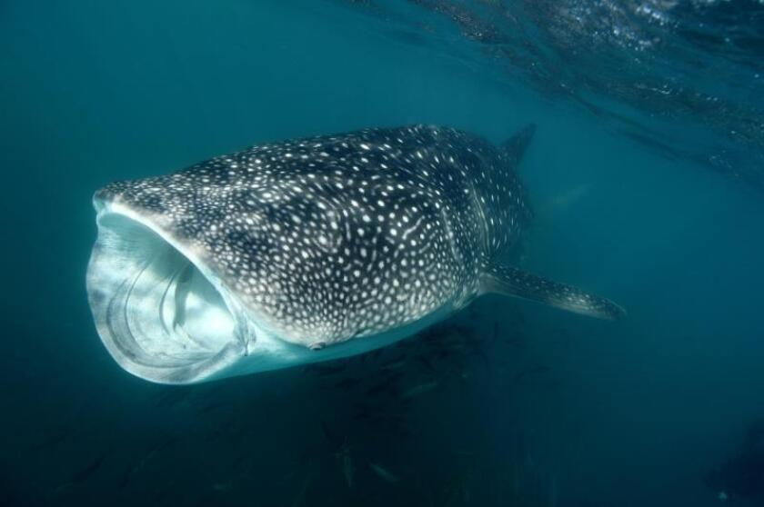Fotografía cedida este miércoles, por el Fondo Mundial para la Naturaleza (WWF) México, que muestra un ejemplar de tiburón ballena (Rhincodon typus). EFE/WWF/SOLO USO EDITORIAL