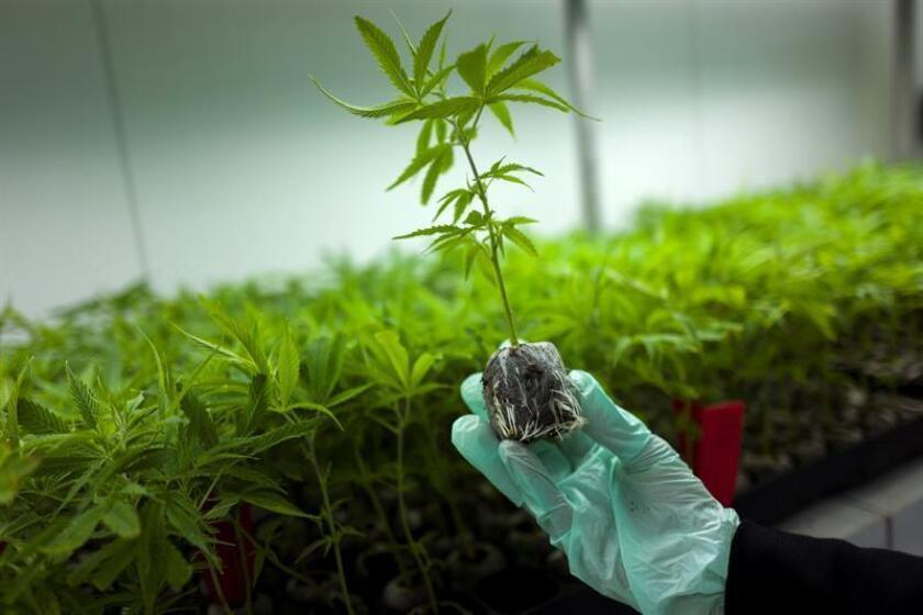 """La legislación que permite la prescripción de medicamentos derivados del cannabis entra hoy en vigor en el Reino Unido, aunque, según los expertos, el acceso a estos tratamientos seguirá siendo """"limitado"""". EFE/Archivo"""