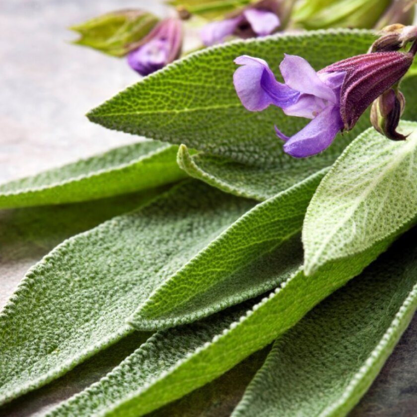 Common sage (Salvia officinalis) is best for cooking.  Golden and purple varieties are available, as well as 'Tricolor,' in which leaves are green, cream and a pinky-purple.