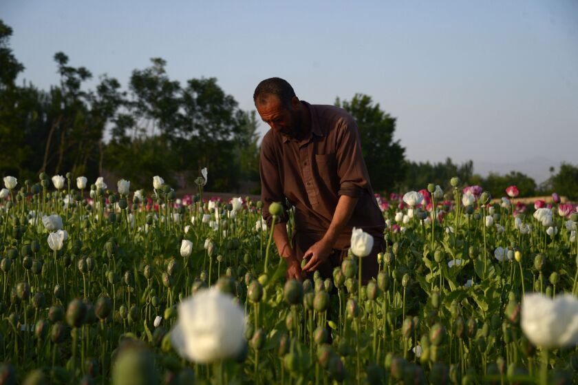 An Afghan farmer harvests opium gum from a poppy field on the outskirts of Mazar-i-Sharif in 2018.
