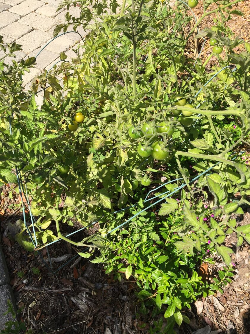A tomato plant grown by one of four neighbors on Inverness Drive in La Jolla who competed in a friendly contest.