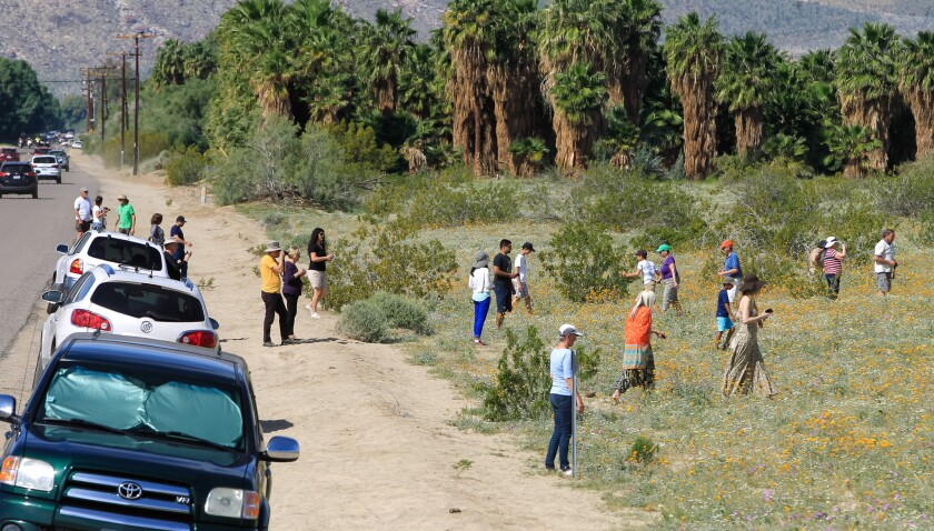 Crowds and Flowers in Borrego Springs