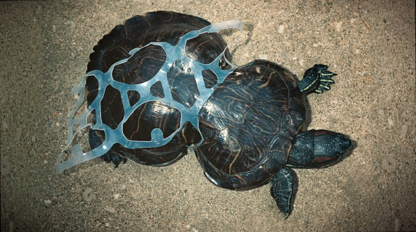 A turtle mutilated by a traditional plastic six-pack ring. Though discarded plastic six-pack rings are not plentiful in the ocean, they do cause problems when they end up there.