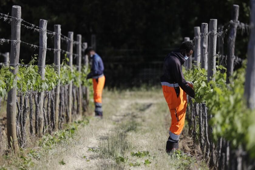 Jawad Jawad of Pakistan, left, and Yahya Adams of Ghana work in a vineyard in Casal del Bosco, Italy.