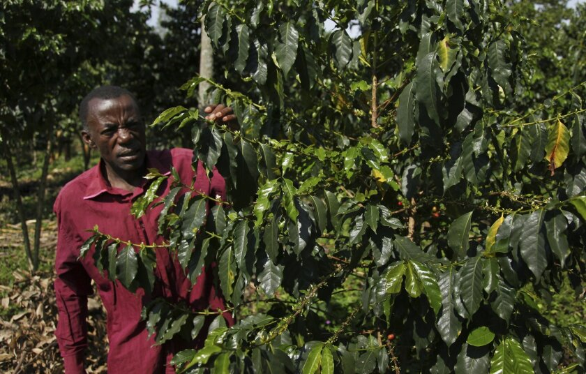 In this photo taken Wednesday, Oct. 21, 2015, coffee farmer Luka Kinyere inspects his plants in Kasese, in the foothills of the Rwenzori Mountains near the border with Congo, in western Uganda. Here coffee is the lifeblood of many families but their success is threatened by climate change, which has warmed the region over the years, encouraging pests and diseases and bringing erratic but intense rains that erode fertile earth. (AP Photo/Stephen Wandera)
