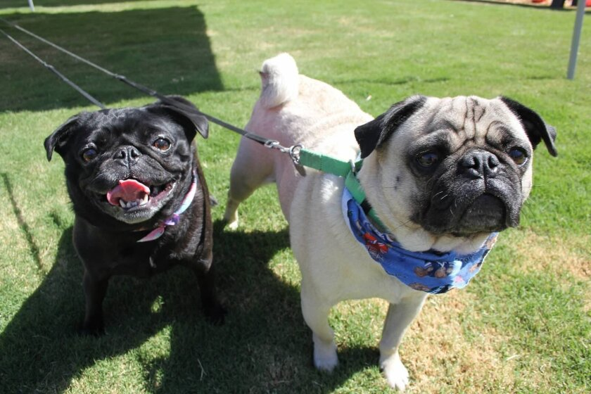 It's pugs aplenty at the 2014 Pug Rescue of San Diego County Pug Party at the fairgrounds.