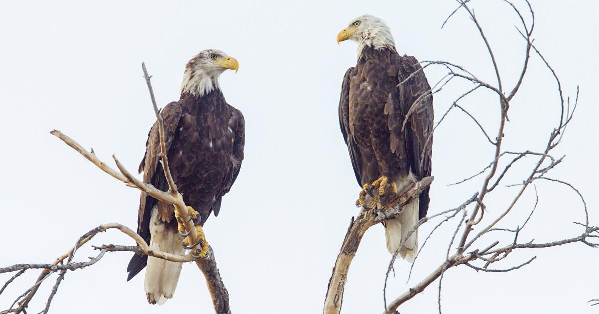 Rare sighting of bald eagles in Santa Ysabel