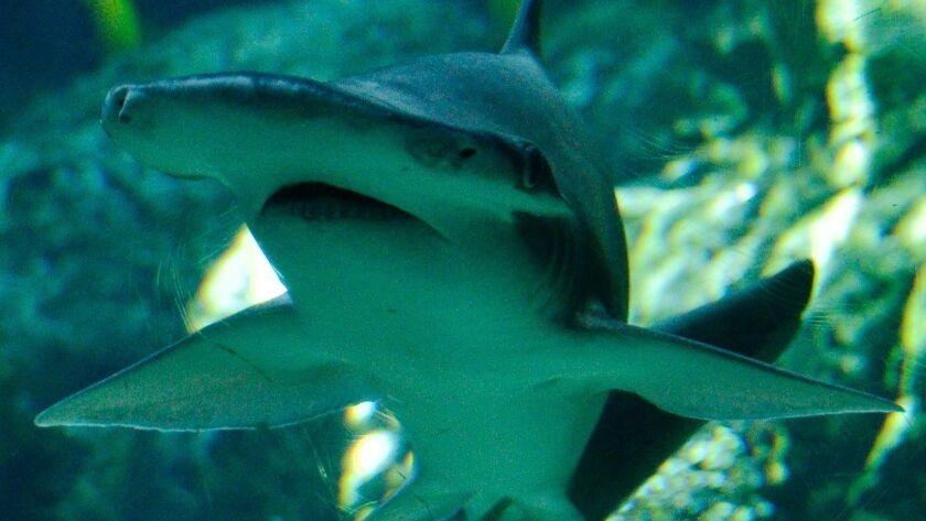 A bonnethead shark swims at the Aquarium of the Pacific in Long Beach.